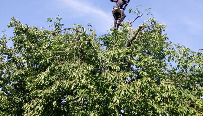 Prořezy stromů lezeckou technikou obr. 1