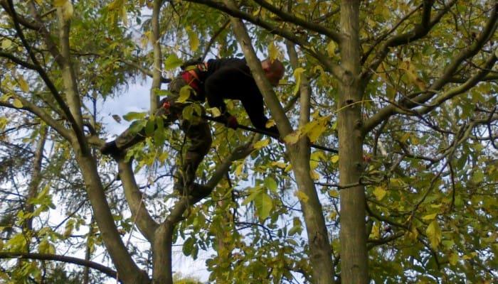 Prořezy stromů lezeckou technikou obr. 4